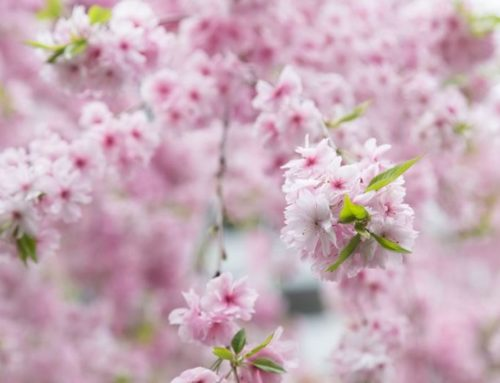 It's The 13th Annual Vancouver Cherry Blossom Festival